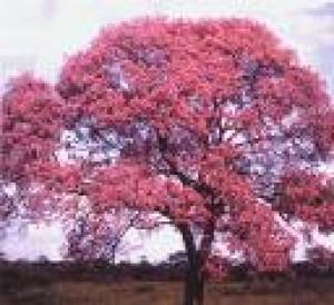 Lapacho - strom